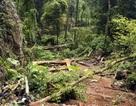 Công ty lâm nghiệp mở đường xuyên rừng để... phá rừng