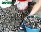 Bộ Nông nghiệp cấm kinh doanh ốc bươu vàng