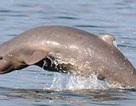 Cá heo sông Mê Công sắp tuyệt chủng