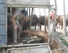 5 người chui khỏi chiếc xe lật cứu đàn trâu bò mắc kẹt phía sau