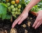 Một cây mọc ra cả cà chua lẫn khoai tây
