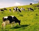 """Trận chiến chỉ dẫn địa lý Ba Vì: Tìm đâu """"sữa ngon chính gốc""""?"""