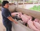 Kiếm tiền tỷ từ chăn nuôi heo: Đâu là mẫu số chung?