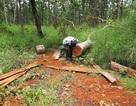 Buộc thôi việc kiểm lâm câu kết với lâm tặc phá rừng