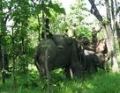 Khống chế thành công voi rừng dính bẫy để chữa trị vết thương