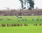 Không lơ là phòng cúm A/H5N1 trên các loài chim, cò