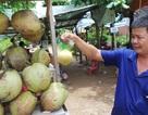 1 trái dừa sáp giá bằng nửa tạ thóc