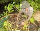 Kiếm bạc triệu mỗi ngày nhờ nghề xúc lươn đồng mùa lũ