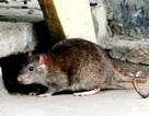 """Chuột """"đại náo"""" khu dân cư"""