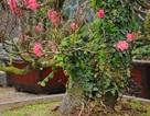 """Đào cổ thụ """"bonsai"""" giá chục triệu hút khách chơi Tết"""