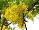 Sài Gòn rực rỡ hoa cuối xuân