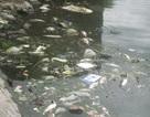 Cá chết hàng loạt gây ô nhiễm nặng hồ Văn Quán