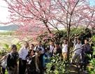 Ngắm hoa Anh Đào nở ở Mường Phăng