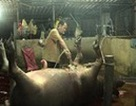 Đồng Nai: Bắt quả tang cơ sở bơm nước và thuốc an thần vào lợn