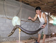 """Ớn lạnh người đàn ông nuôi hơn 1.000 con """"mãng xà"""" cực độc ở Lào Cai"""
