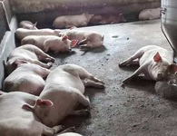 Vụ phát hiện 200 con heo lở mồm long móng ở Huế: Nghi doanh nghiệp giấu dịch