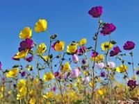 """Sa mạc khô cằn đột nhiên biến thành """"thảm hoa"""" đẹp kỳ diệu"""