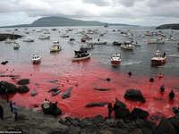 """Vùng biển nhuộm đỏ màu máu khi mùa """"thảm sát"""" cá voi bắt đầu"""