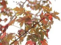 Phố Hà Nội lãng mạn nhờ hàng cây phong lá đỏ chuyển màu đỏ rực