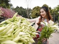 Hoa loa kèn tinh khôi gọi tháng 4 về trên phố Hà Nội