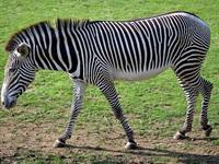 """""""Hô biến"""" lừa thành... ngựa vằn, vườn thú bị chỉ trích vì lừa dối du khách"""