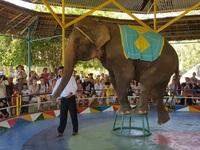 """""""Nín thở"""" xem voi 36 tuổi đi qua bụng người ở Khánh Hòa"""
