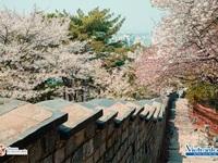 Tour dự hội hoa xuân khắp Hàn Quốc giảm đến 2 triệu đồng