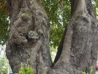 Chiêm ngưỡng những cây di sản Việt Nam ở Côn Đảo