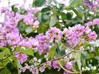 Hoa bằng lăng mộng mơ 'nhuộm tím' đường phố Hà Nội