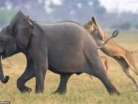 """Định """"bắt nạt"""" voi con, bầy sư tử chịu thua cuộc trước đàn voi trưởng thành"""