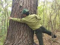 """Cận cảnh rừng thông trăm tuổi trên """"cổng trời"""" Mang Yang"""