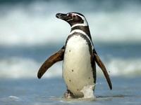 Đôi chim cánh cụt nổi điên, giết chết đồng loại sau khi bị mất con