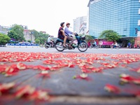 Khung cảnh lãng mạn mùa hoa lộc vừng trải thảm đỏ ven Hồ Tây
