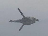 Cá sấu bơi lội trong nước với dao găm cắm chặt trên đầu