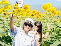 """Giới trẻ rủ nhau """"check-in"""" vườn hoa hướng dương ở Đà Nẵng"""