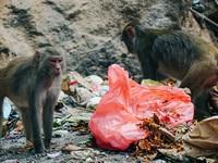 Cho khỉ ăn ở Sơn Trà: Gây nguy hiểm cho khỉ lẫn du khách