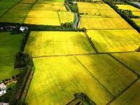 Ngắm những đồng lúa chín vàng đẹp như tranh vẽ ở Long An
