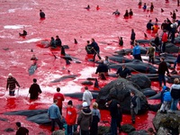 Nạn thảm sát cá heo đẫm máu ở Nhật Bản lại vào mùa