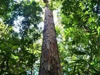 """Tìm thấy cây cao nhất trong rừng Amazon, may mắn """"thoát chết"""" khỏi trận cháy lịch sử"""