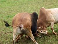Đặc sắc hội chọi bò người Mông ở miền Tây xứ Nghệ