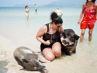 """Lợn rừng """"minh tinh"""": Điểm nhấn trên bãi biển Koh Samui"""