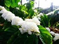 """Mãn nhãn với mùa """"hoa tuyết"""" trên đại ngàn Tây Nguyên"""