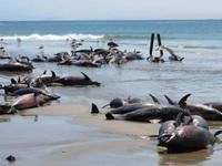 """Cá heo chết """"tập thể"""" đầy bí ẩn, nằm la liệt trên bãi biển"""