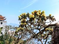 Ngắm những cây đỗ quyên trăm tuổi bung nở rực rỡ trên đỉnh Fansipan