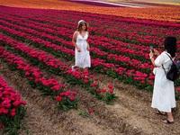 Mãn nhãn với cánh đồng hoa tulip rực rỡ sắc màu