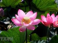 Sen hồng bung sắc giữa những làng quê đầy nắng và gió