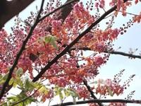Về miền Tây ngắm vẻ đẹp dung dị của bông và trái ô môi