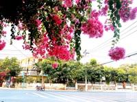 Nha Trang: Hoa giấy rực rỡ khắp các nẻo đường