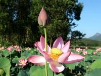 Mãn nhãn với thung lũng sen hồng tuyệt đẹp giữa lòng xứ Quảng