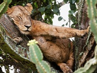 Sư tử nằm chen chúc nhau ngủ trên cây chứa nhiều độc tố